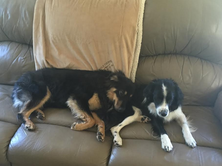 Success Stories - Western Australian Shepherd Rescue